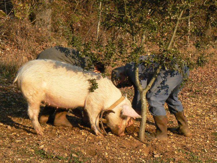 1600px-cochon_truffier