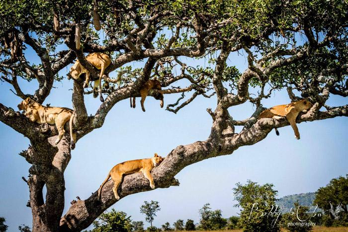 sausage-tree-lion-pride-bobby-jo-clow-photography