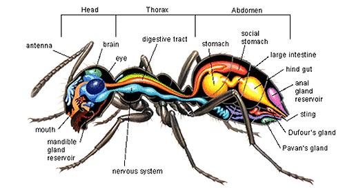mrav-anatomija-nervni-sistem-zlezde