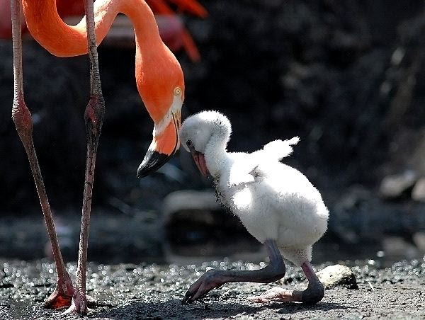 American_Flamingo_Chick_600.jpg
