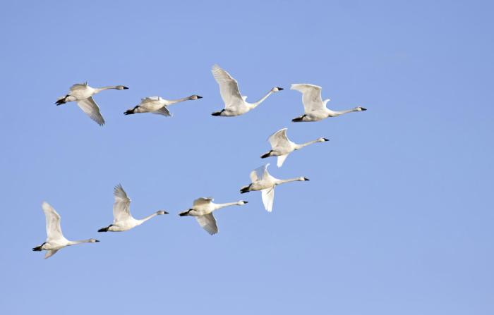 black-swan-1200-461984513-tundra-swans-1