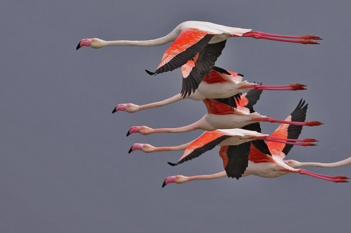 greater-flamingoes_w1431