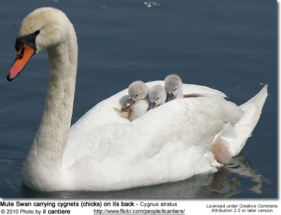 mute-swan-carrying-chicks-on-its-back