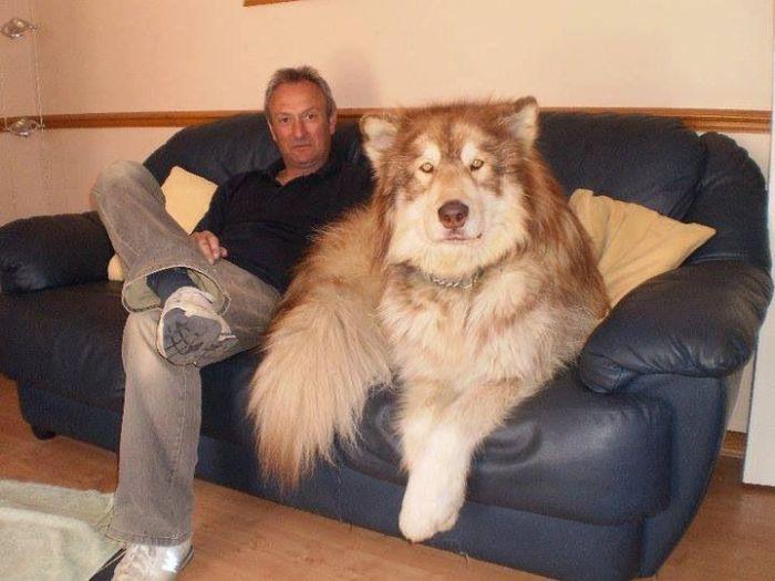 Large Malamute - e6c42cbbc1ba36a9b6428e93bee51e5b--giant-alaskan-malamute-malamute-dog.jpg